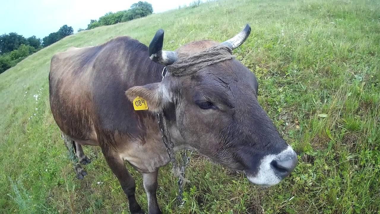 О джерсейской породе коров: характеристики, направление, продуктивность