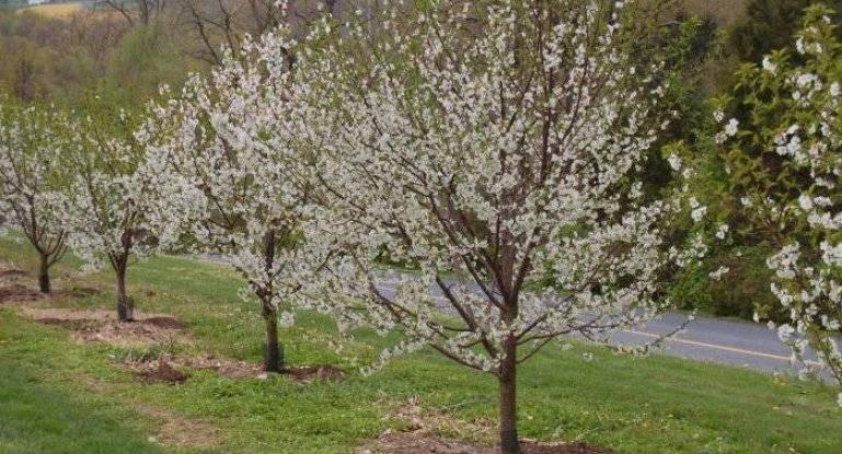 О посадке вишни весной, пошаговое руководство, выбор участка, грунта