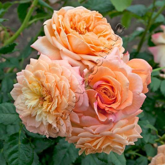 Роза плетистая барок энциклопедия роз