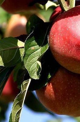 Яблоня зимняя красавица: описание сорта, фото и правила ухода