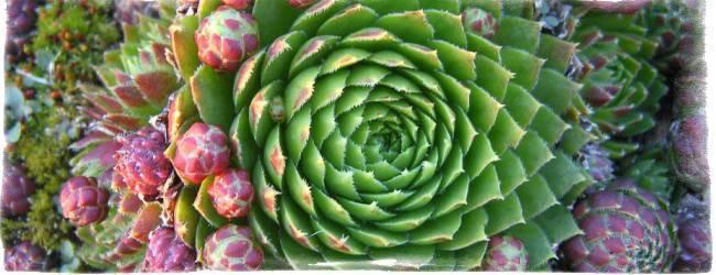 Цветок каменная роза в ландшафтном дизайне и домашних условиях