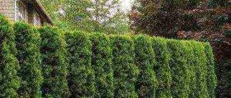 О туе Еллоу Риббон: описание сорта, как посадить и ухаживать за растением