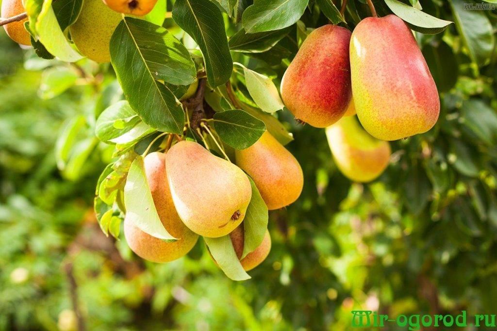 Чем удобрять яблони и груши