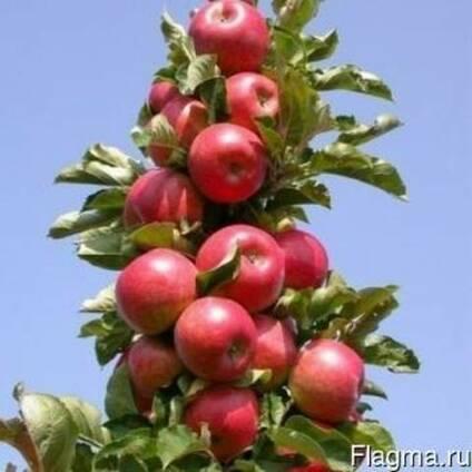 Как правильно выбрать саженец яблони?