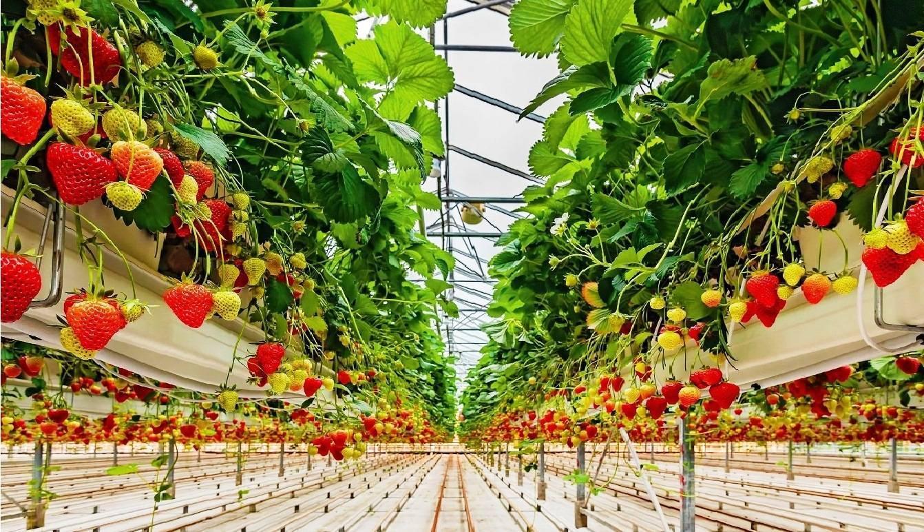Особенности выращивания клубники в теплице круглый год