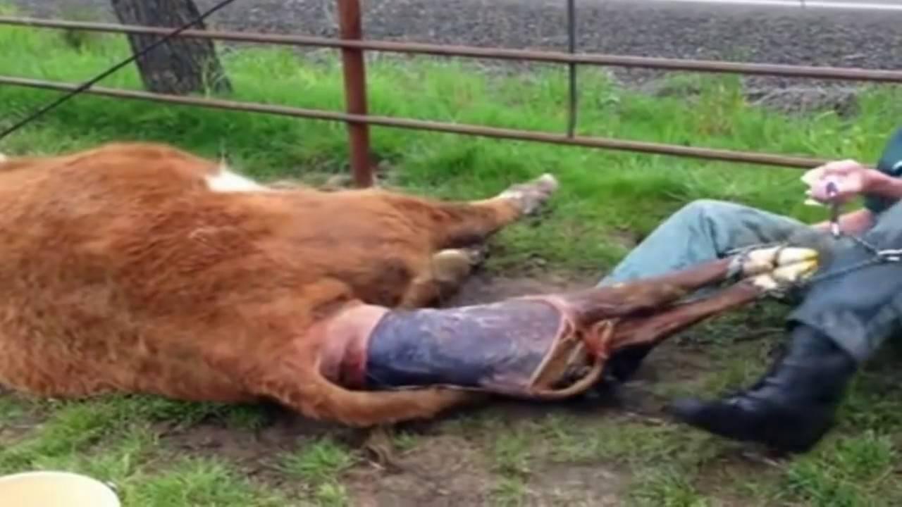 Ветеринария, акушерство, патология родов и родовспоможение, слабые схватки и потуги - ветеринарные мероприятия баянаульского рту