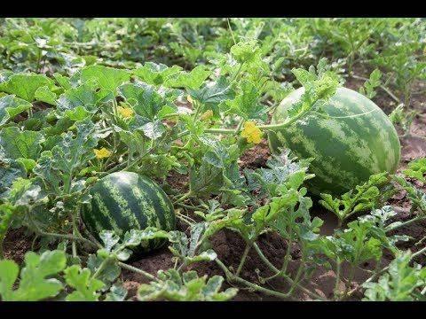 Можно ли вырастить арбуз в открытом грунте?