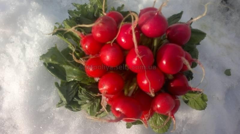Чем хорош сорт редиса жара, как его выращивать и использовать?