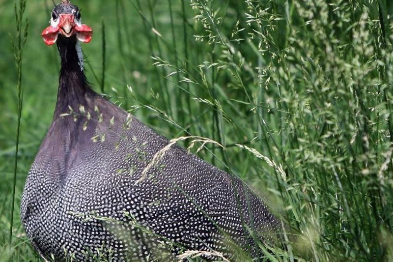 Бройлерная цесарка (33 фото): описание серо-крапчатого вида из франции и других пород, правила разведения в домашних условиях