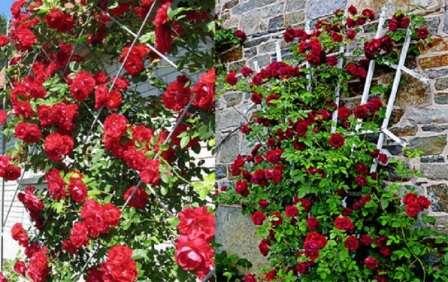 Как сделать опоры для плетистых роз