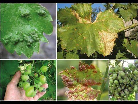 Все основные болезни винограда, профилактика и их лечение