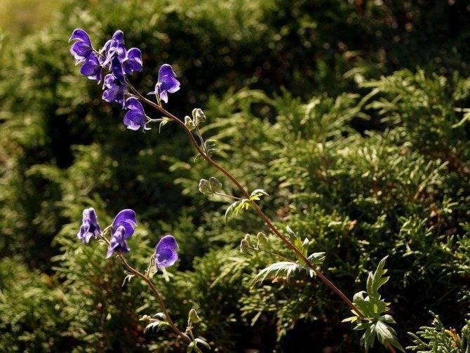Аконит (растение): сорта, особенности. ядовитые растения