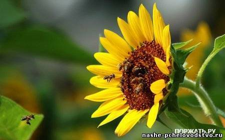 Какие существуют медоносные растения, цветы, кустарники? когда происходит их цветение, когда пчелы начинают собирать нектар? таблица медоносов