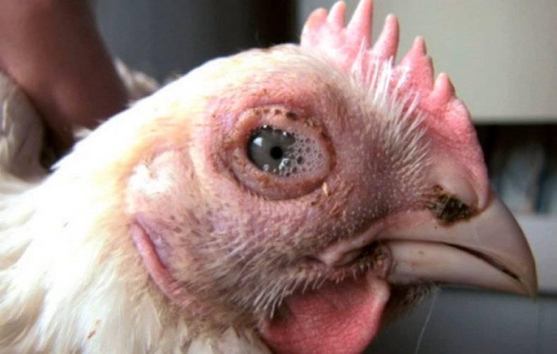 Если болит глаз у птицы