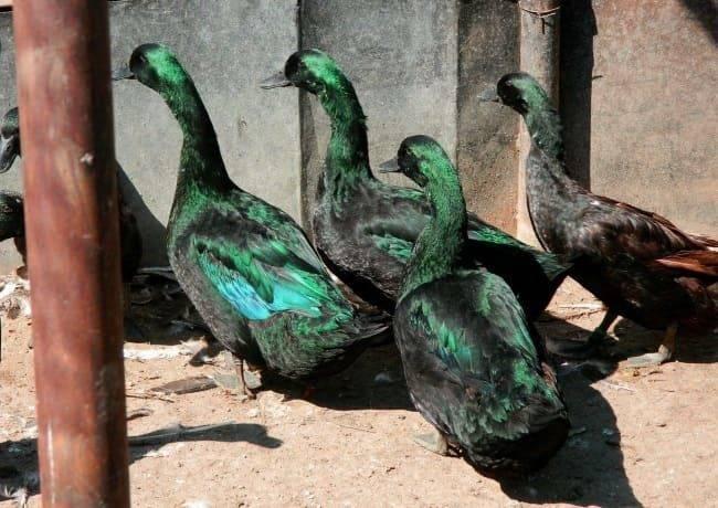 Порода утки «гоголь»: описание, образ жизни и домашнее содержание