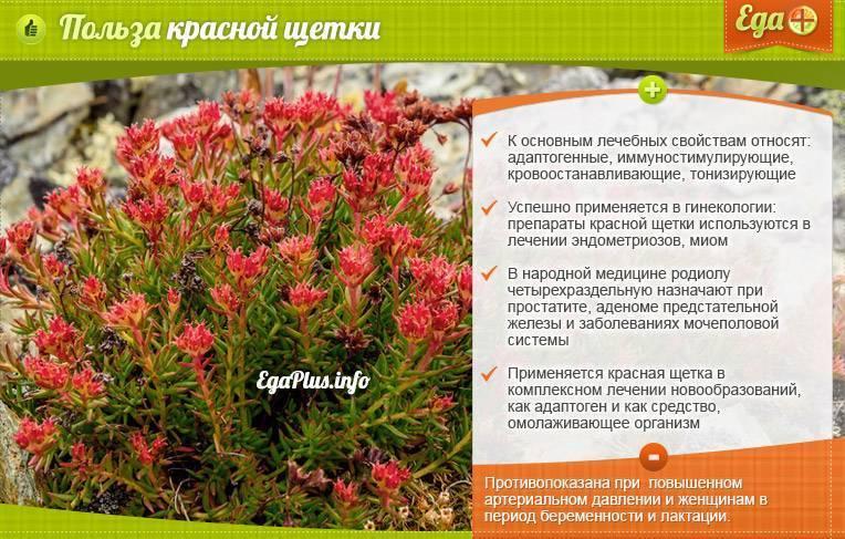 Красная щетка - лечебные свойства, противопоказания, инструкция и показания к применению, полезный фиточай