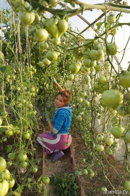 Баклажаны в теплице: с чем сажать — с огурцами, помидорами или перцем?