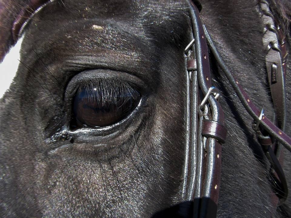 Как вылечить заболевания глаз у лошади - wikihow