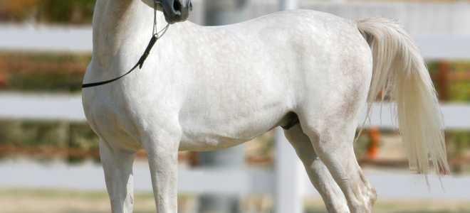 Арабская лошадь: особенности разведения и уход