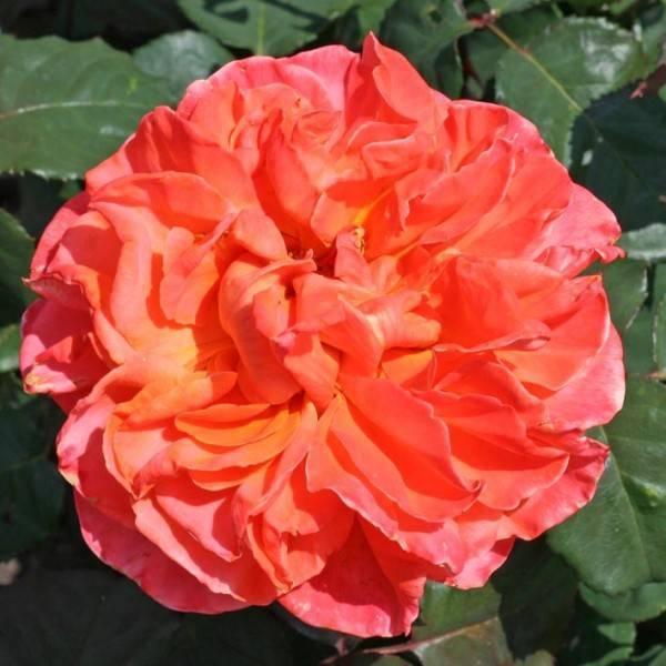 Роза чг версилия — блики заката на персиковых лепестках