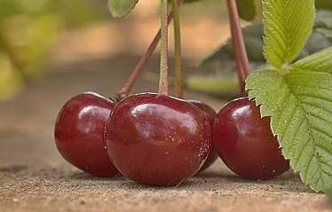 Колоновидная вишня и лучшие ее сорта для подмосковья