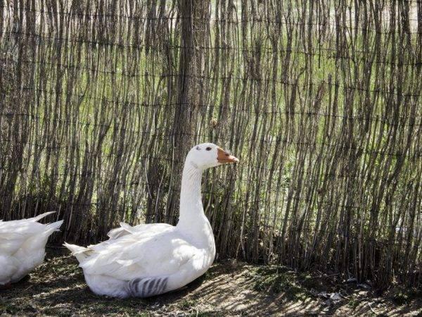 Наиболее рентабельные породы гусей по реальным данным с фермерских хозяйств