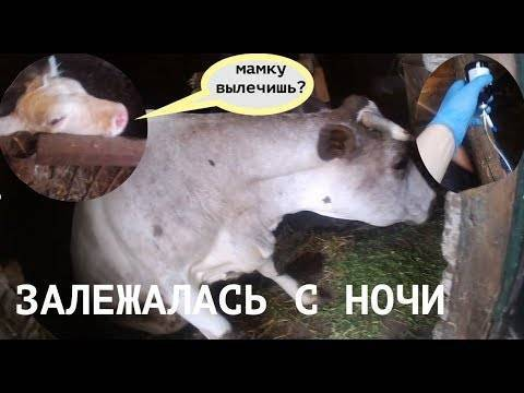 Болезни коров после отела