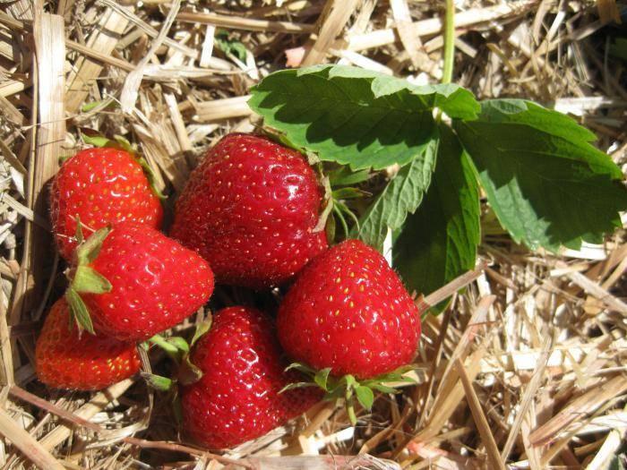 Клубника сорт маршал: отличный урожай при минимальном уходе