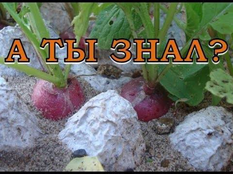 Выращивание редиса в открытом грунте, в домашних условиях — агротехника