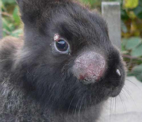 Все болезни, поражающие глаза кроликов