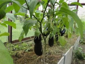 Как вырастить баклажаны в парнике: пошаговая инструкция
