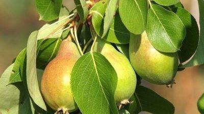 Что можно сажать рядом с яблоней - совместимость деревьев и кустарников в саду