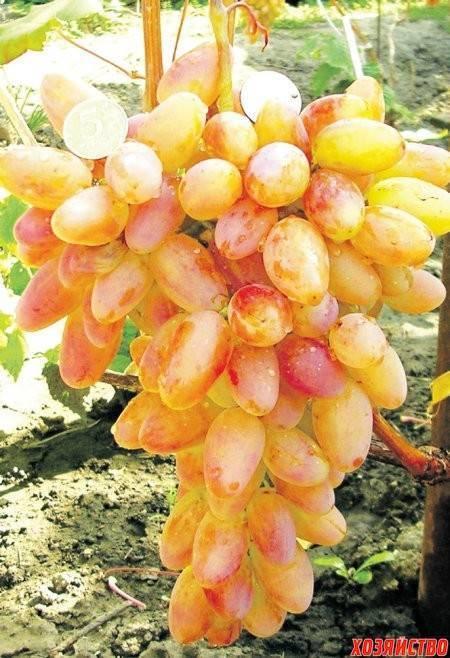 Сорт винограда «дамские пальчики» (хусайне белый)