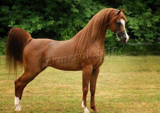 Арабская лошадь – описание особенностей породы