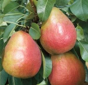 О сорте груши Радужная: описание, особенности выращивания, как ухаживать