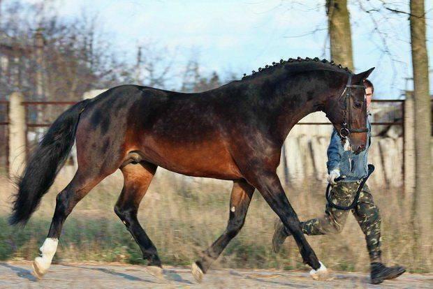 Ганноверская порода лошадей: фото, отзывы, описание