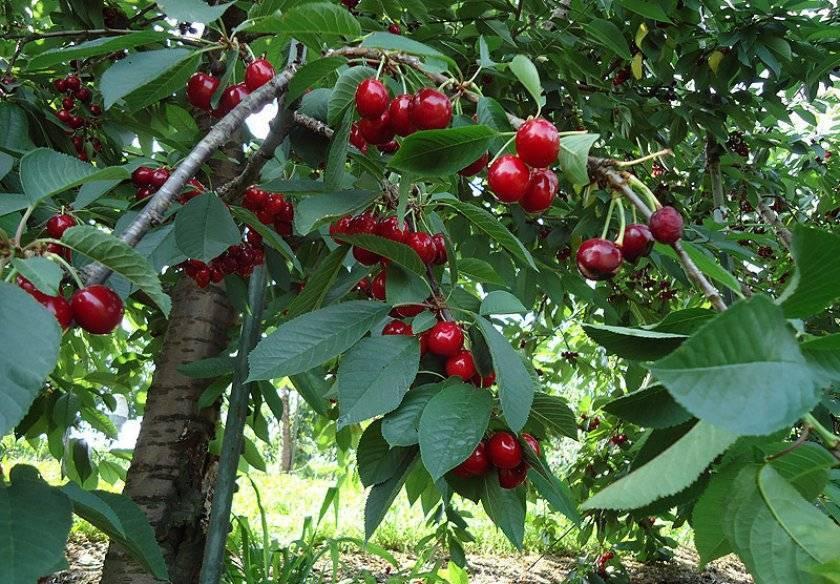Чем отличается вишня от черешни: основные отличия и полезные свойства вишни и черешни. 150 фото и видео выращивания вишни и черешни