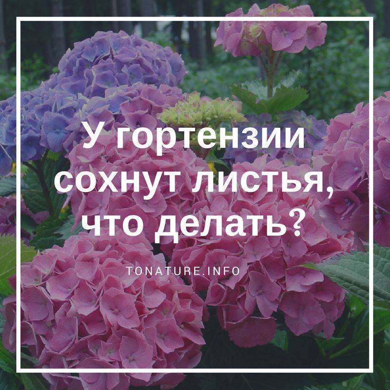 Симптомы хлороза гортензии и лечение растения