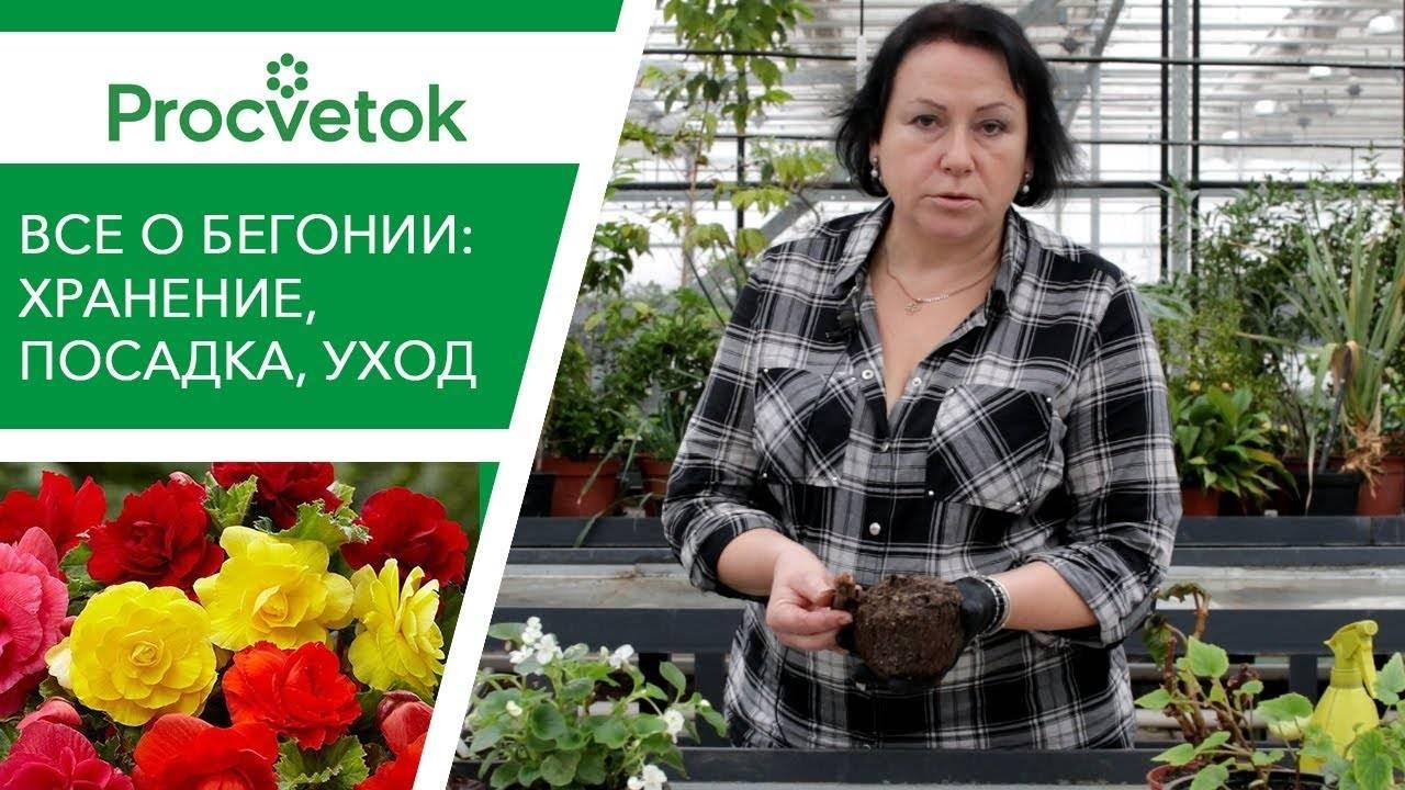 Бегония из семян в домашних условиях (16 фото): посадка и выращивание семян бегонии дома. когда сеять семена на рассаду?
