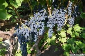Сорт винограда академик: фото и описание