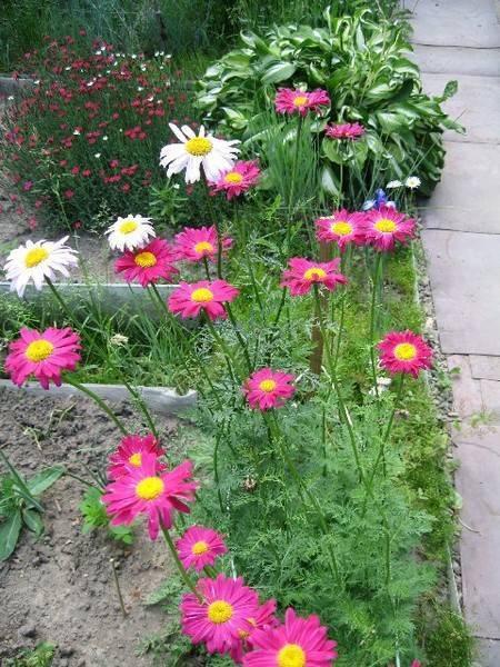 Правила выращивания и уход за персидской ромашкой в открытом грунте - садовые цветы, растения и кустарники - 2020