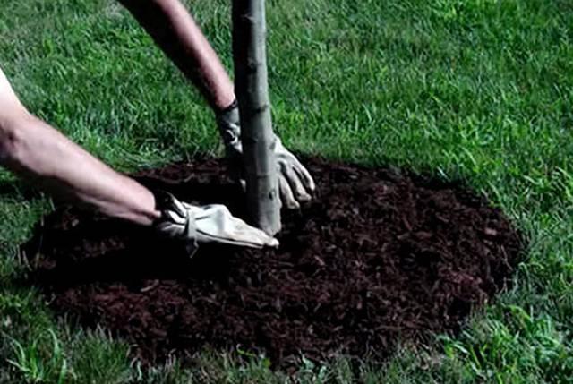 Нужно ли мульчировать скошеной травой приствольный круг яблони