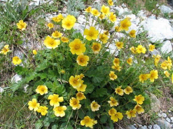 Гревиллея (25 фото): выращивание цветов из семян и уход за ними в домашних условиях, особенности видов робуста, мощная и можжевеловая гревиллия