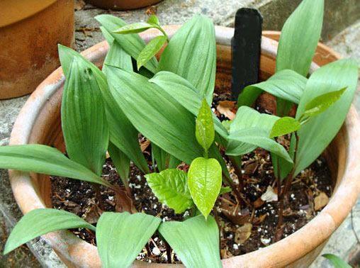 Стратификация семян черемши в домашних условиях. как вырастить черемшу на своем участке