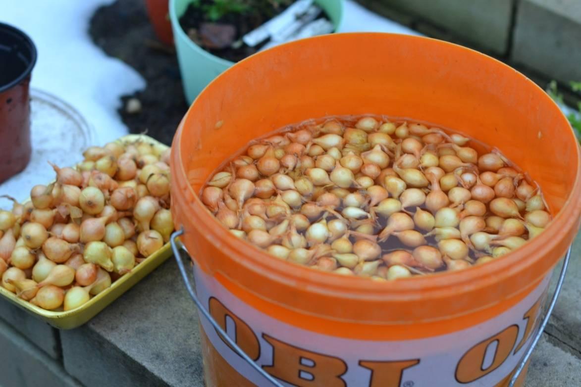 О замачивании лука перед посевом весной: в чем необходимо замачивать луковицы