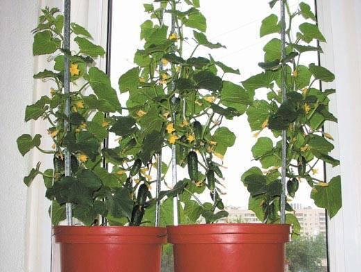 Как выращивать огурцы дома на подоконнике