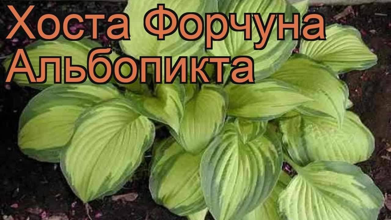 Хоста форчуна (21 фото): описание «ауреомаргината» и «франси», «голд стандарт» и «обскура», «риацинтина» и других. особенности выращивания