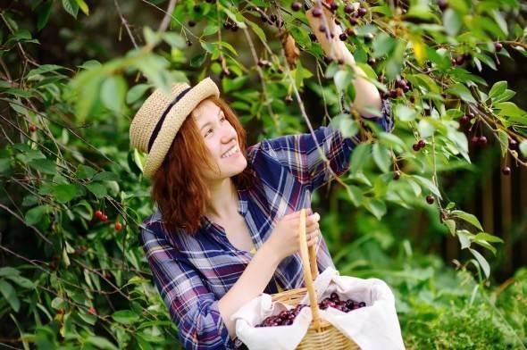 """Устойчивость к коккомикозу - поиск по виду """"вишня"""". - фгбну внииспк"""