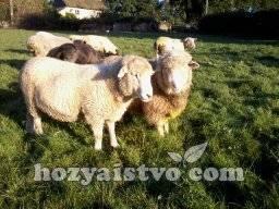 Разведение овец как бизнес для начинающих