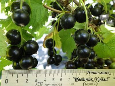 Черная смородина – «кладовая витаминов»: посадка и уход